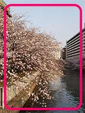 川辺に咲いたきれいな桜